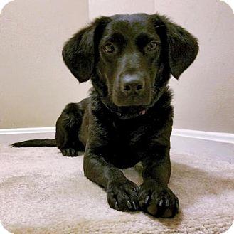 Labrador Retriever Mix Dog for adoption in Arlington, Virginia - Roberta - ADOPTION PENDING!!