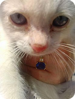 Siamese Kitten for adoption in Alhambra, California - Athena