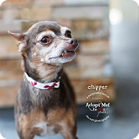 Adopt A Pet :: Chipper the teacup Chi - Los Angeles, CA