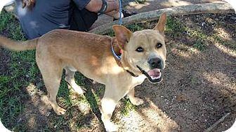 Labrador Retriever/Terrier (Unknown Type, Medium) Mix Dog for adoption in Pensacola, Florida - Chappy