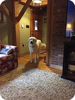 Great Pyrenees Dog for adoption in Centreville, Virginia - Mojo - Adoption Pending