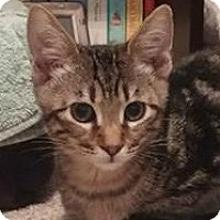 Domestic Shorthair Kitten for adoption in Burlington, North Carolina - CHASE
