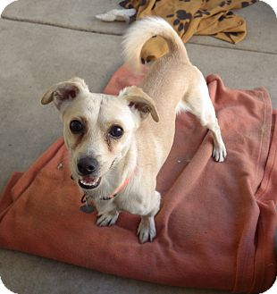 Terrier (Unknown Type, Small)/Chihuahua Mix Dog for adoption in Quail Valley, California - Finnegan