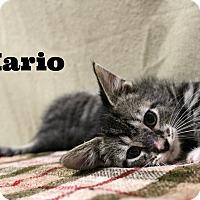 Domestic Shorthair Kitten for adoption in Melbourne, Kentucky - Mario