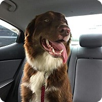 Border Collie Dog for adoption in Austin, Texas - Buddy