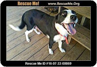 Border Collie Dog for adoption in North Hampton, New Hampshire - Peppa