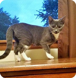 Russian Blue Cat for adoption in Highland, Indiana - Desiree