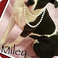 Adopt A Pet :: Miley - Effort, PA
