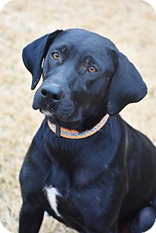 Labrador Retriever Mix Dog for adoption in Rochester, New Hampshire - Antionia