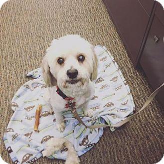 Maltese Mix Dog for adoption in San Diego, California - Donatella
