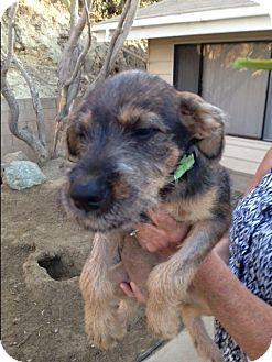 German Shepherd Dog/Labrador Retriever Mix Puppy for adoption in BONITA, California - Sasha
