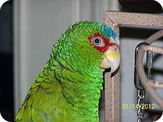 Conure for adoption in Lexington, Georgia - Kokomo & Dude