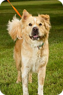 Shar Pei/Golden Retriever Mix Dog for adoption in Scottsdale, Arizona - Coco