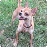 Adopt A Pet :: Chino - Mount Gretna, PA