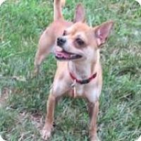 Adopt A Pet :: Chino - Mount Gretna, PA