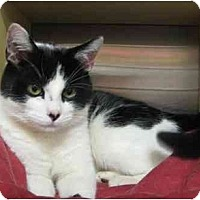 Adopt A Pet :: Domino - Jenkintown, PA