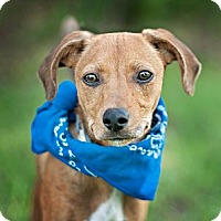Adopt A Pet :: Romeo-local! - East Hartford, CT