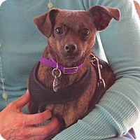 Adopt A Pet :: Pippi - Scottsdale, AZ