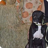 Adopt A Pet :: Inoki - Lima, OH