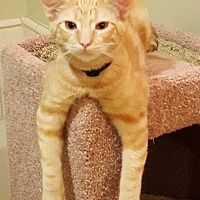 Domestic Shorthair Cat for adoption in Monrovia, California - Whiskey