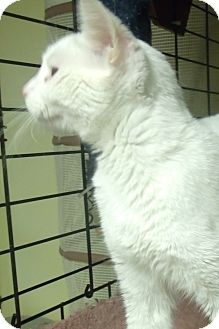 Domestic Shorthair Cat for adoption in Acme, Pennsylvania - ROXY