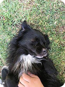 Spaniel (Unknown Type) Mix Dog for adoption in Alhambra, California - Panda