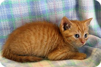Domestic Shorthair Kitten for adoption in Greensboro, North Carolina - Godfrey
