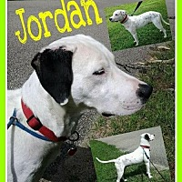 Dalmatian Mix Dog for adoption in Fort Collins, Colorado - Jordan
