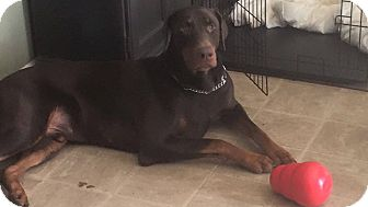 Doberman Pinscher Dog for adoption in Bath, Pennsylvania - Ralph