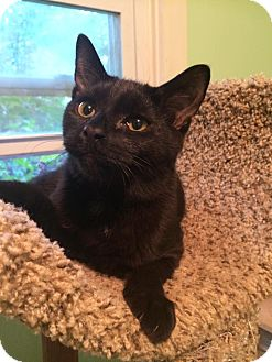 Domestic Shorthair Kitten for adoption in Bensalem, Pennsylvania - Vader
