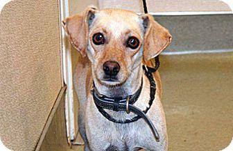 Labrador Retriever/Dachshund Mix Dog for adoption in Wildomar, California - Bristle