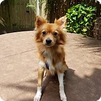 Adopt A Pet :: Foxfire - conroe, TX