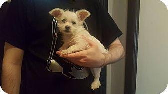 Westie, West Highland White Terrier Puppy for adoption in Burbank, California - Elsa