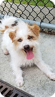Terrier (Unknown Type, Small) Mix Dog for adoption in Rockford, Illinois - Sparky aka Atticus