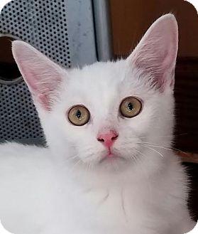 Domestic Shorthair Kitten for adoption in Colfax, Iowa - Dexter