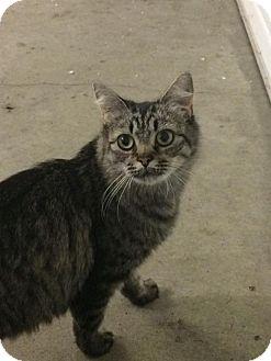 Domestic Mediumhair Cat for adoption in Des Moines, Iowa - Arizona