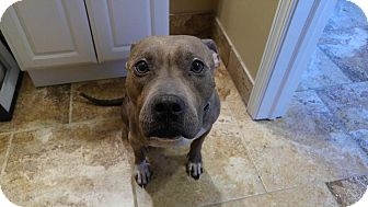 Pit Bull Terrier Mix Dog for adoption in Frankfort, Illinois - Trixie