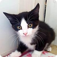 Colorpoint Shorthair Cat for adoption in Fairmont, West Virginia - Ethel