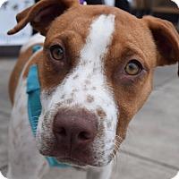 Adopt A Pet :: Kate - Aubrey, TX