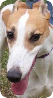 Greyhound Dog for adoption in Fremont, Ohio - Lisa