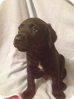 Labrador Retriever/Hound (Unknown Type) Mix Puppy for adoption in Leesburg, Virginia - Dean