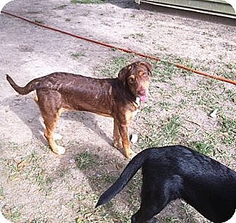 Labrador Retriever/Doberman Pinscher Mix Dog for adoption in Baton Rouge, Louisiana - Reece
