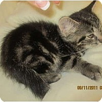 Adopt A Pet :: Twinkle - Sterling Hgts, MI
