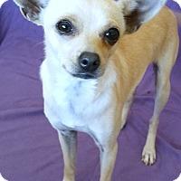 Toy Fox Terrier/Chihuahua Mix Dog for adoption in Phoenix, Arizona - Rosy Posy