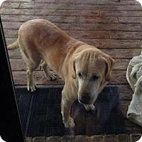 Labrador Retriever Dog for adoption in Ruston, Louisiana - Nana