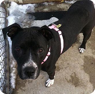 Labrador Retriever Mix Dog for adoption in Birmingham, Michigan - JAZZ- NEEDS A FOSTER