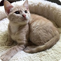 Adopt A Pet :: Angelica - Edmond, OK