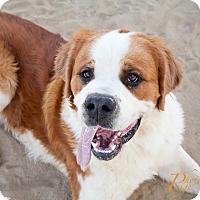 Adopt A Pet :: Ryan - Sparks, NV