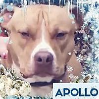 Adopt A Pet :: APOLLO - Red Bluff, CA