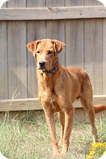 Labrador Retriever Mix Dog for adoption in Jackson, Mississippi - Bubba